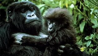 İnsanlar mı, maymunlar mı, kim kimi taklit ediyor?