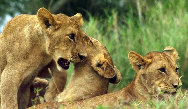 Afrika'nın Vahşi Krallığı Nat Geo Wild'da başlıyor!