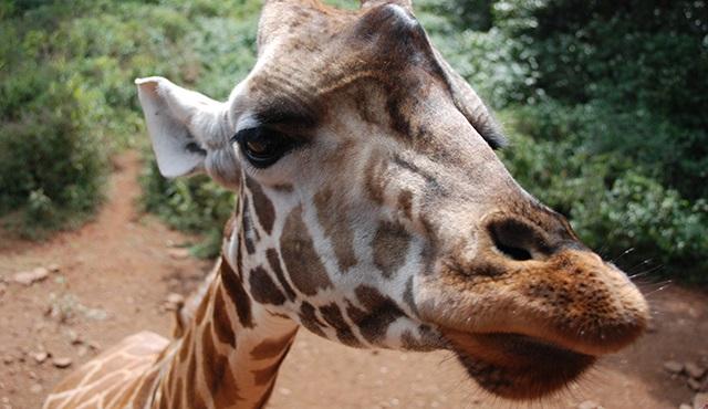 Zürafa: Afrika'nın Devi Nat Geo Wild'da!
