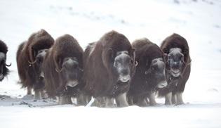 İskandinavya'nın Vahşi Doğası National Geographic WILD'da ekrana gelecek!
