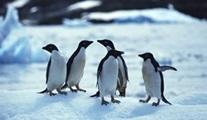 Penguenlerle Tanışın Animal Planet ekranlarında başlıyor!