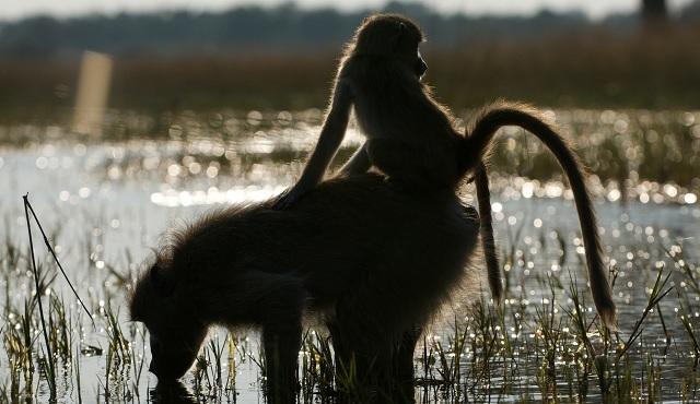 Babunların Kraliçesi, Nat Geo Wild'da başlıyor