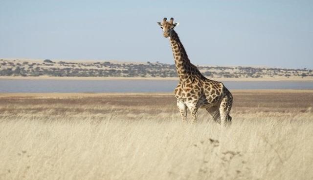Kritik Görev: Zürafa Nat Geo Wild'da başlıyor!