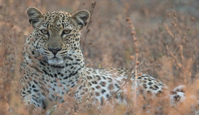 Avcı Dişiler: Leoparlar National Geographic WILD'da ekrana gelecek!