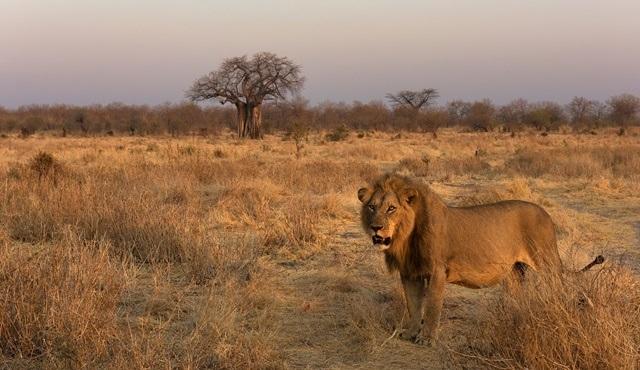 Aslanlarla ilgili tüm bilinmeyenler Dünya Aslan Günü'nde Nat Geo WILD ekranlarında!