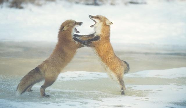Hayvanların birbiriyle mücadelesi, Dövüş Kulübü ile Nat Geo Wild'da!