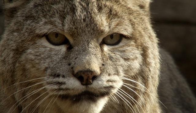 Vahşi Küçük Kediler Nat Geo Wild'da!