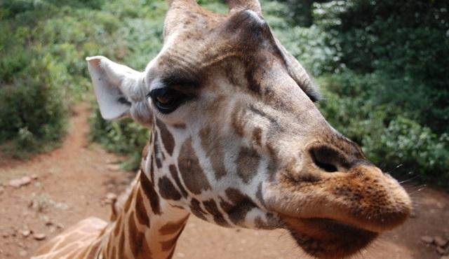 Zürafa: Afrika'nın Devi, Nat Geo Wild'da ekrana geliyor!