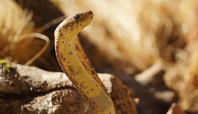 Muhteşem Yılanlar Haftası, National Geographic WILD ekranlarında başladı!