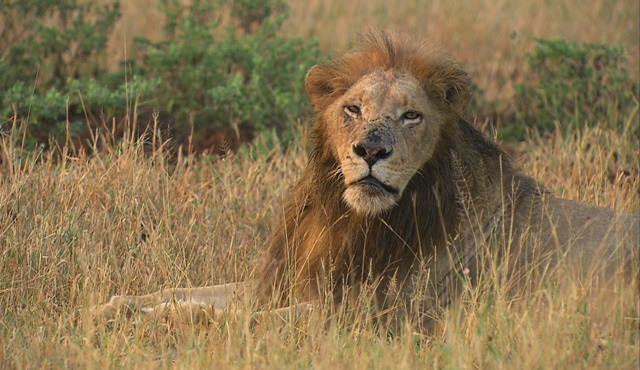 Cecil: Bir Kralın Mirası, National Geographic WILD'da ekrana gelecek!