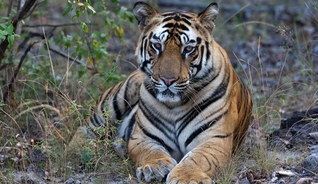 Taru'nun Kaplan Kraliçesi, National Geographic WILD'te ekrana gelecek!