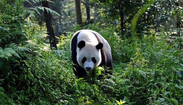 Kritik Görev: Dev Pandalar Nat Geo Wild başlıyor!