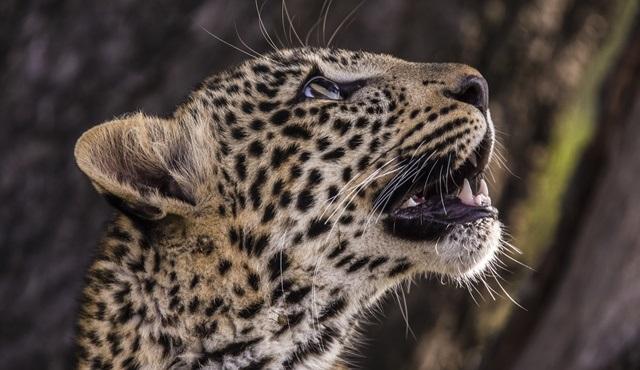 Yeşim Gözlü Leopar, National Geographic WILD'de ekrana gelecek!