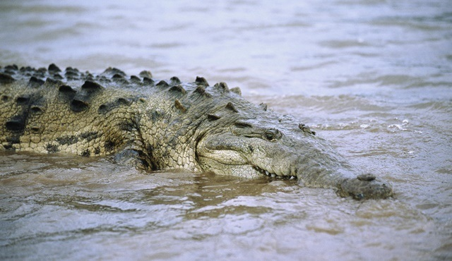 Timsah Ayı, National Geographic WILD ekranlarında izleyicilerle buluşuyor!