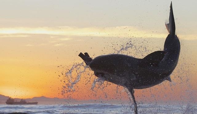 Köpekbalığı Haftası Discovery Channel'da 30. yılını kutluyor!