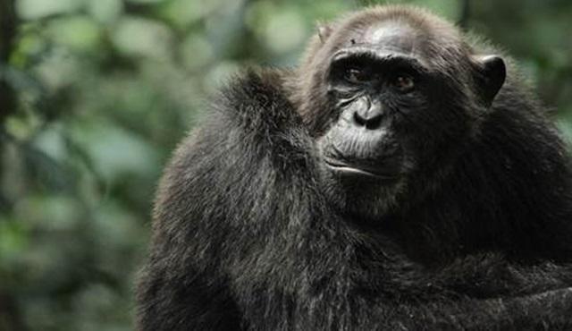 Savaşçı Maymunların Yükselişi Discovery Channel'da yarın başlıyor