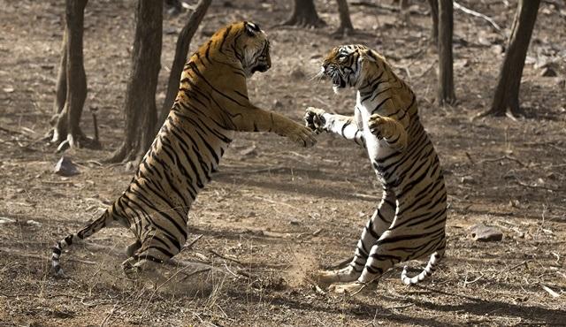 Kaplanların Çarpışması, National Geographic WILD'da ekrana gelecek!