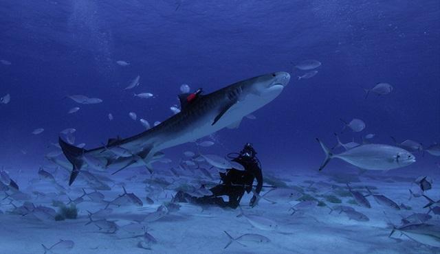 Tahmin: Köpekbalığı Saldırıları National Geographic WILD'da ekrana gelecek!