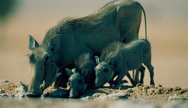 Vahşi Yolculuk: Afrika Nat Geo Wild'da!