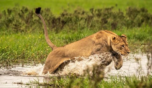 Rüyalar Nehri Okavango'da Vahşi Yaşam, National Geographic WILD'da ekrana gelecek!
