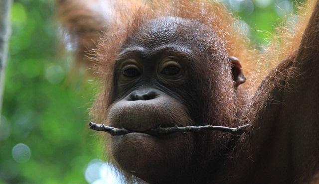 Borneo'nun Kayıp Krallığı Nat Geo Wild ekranlarında başlıyor