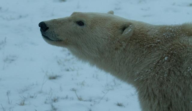 Kutup Ayısı İstilası Nat Geo Wild ekranlarında başlıyor